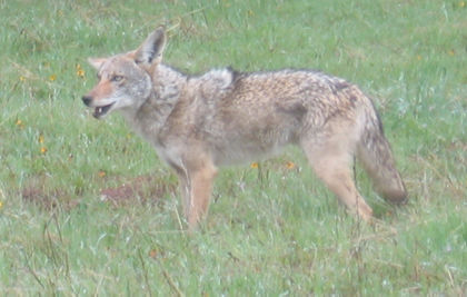 Coyote at Henry Coe